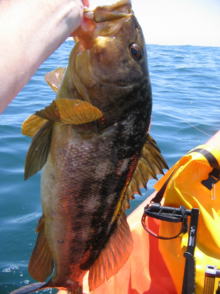Article image - calico bass