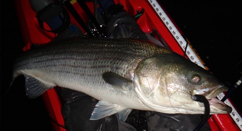 Eric Harrison, Striped Bass